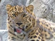 sd amur leopard 2