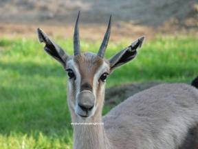 sd antelope