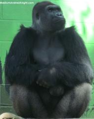 sd gorilla 2