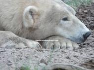 sd polar bear