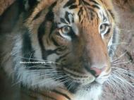 sd tiger 2