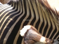 SD zebra